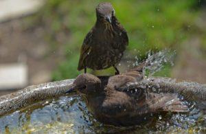 Starling and dove in birdbath